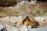 Marmot in the mountains - 213606567