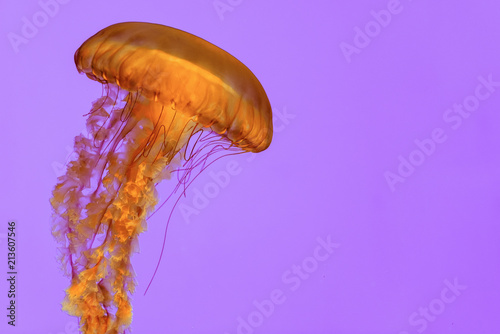 Fototapeta jellyfish in the aquarium