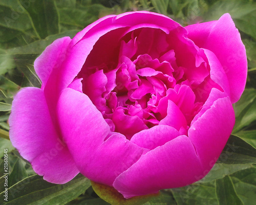 Flower of a pink peony on a background of green leaves - 213610545