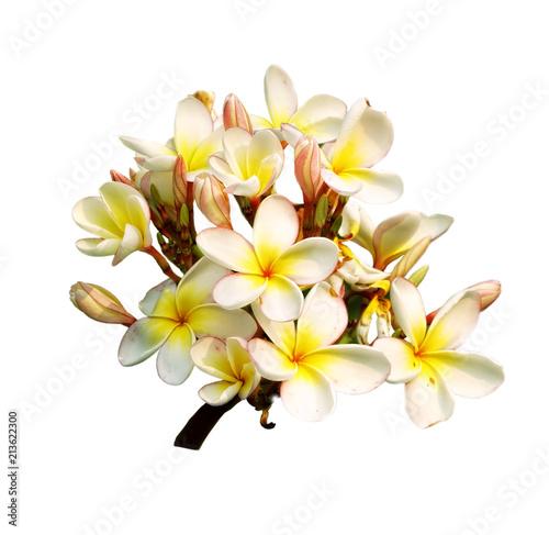 Plexiglas Plumeria plumeria flowers isolated