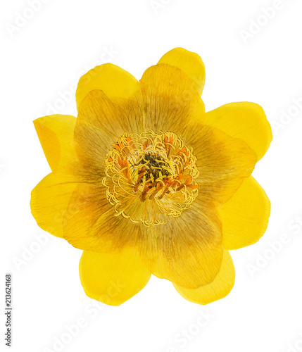 Foto Murales Pressed and dried flower trollius europaeus isolated on white