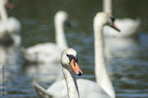 Fotobehang Zwaan Swans