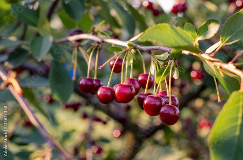 Fotobehang Kersen Close up of cherry fruits hanging on the tree