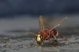 Oriental hornet - Vespa orientalis, Crete - 213628723