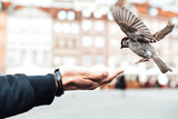 sparrow eats with hands on the old square of Warsaw Poland