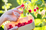Close Up Of Woman Picking Raspberries And Putting Into Wooden Basket