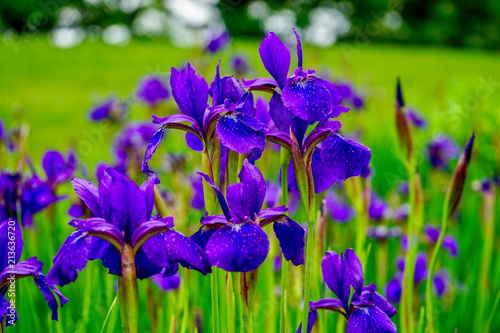 Fotobehang Iris Brilliant Violet Irises in a garden with blurred background with grass and trees