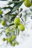 Green Olives Tree in orchard after rain -  ready to harvest crop for olive oil production.