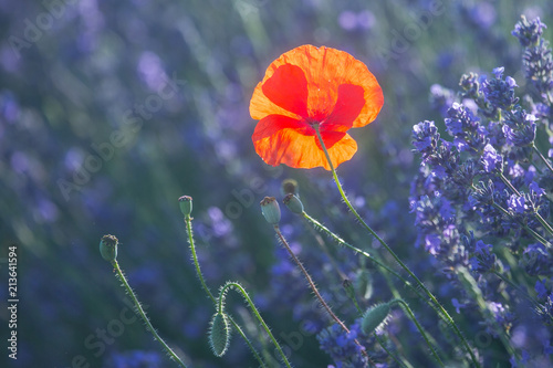 Foto Murales Beautiful meadow full of red wild poppies closeup in sunshine flare
