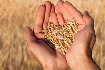 Ripe wheat bean seed in farmer hands.