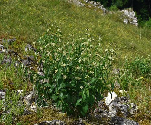 Leinwanddruck Bild Schwalbenwurz; Vincetoxicum hirundinaria;