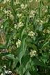 Leinwanddruck Bild - Schwalbenwurz; Vincetoxicum hirundinaria;