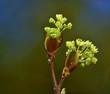 Leinwanddruck Bild - Ahorn; Spitzahorn; Acer platanoides; European  maple;
