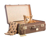 Chihuahua in an old suitcase