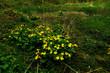 Leinwanddruck Bild - Sumpfdotterblume; Sumpf-Dotterblume; Caltha palustris;