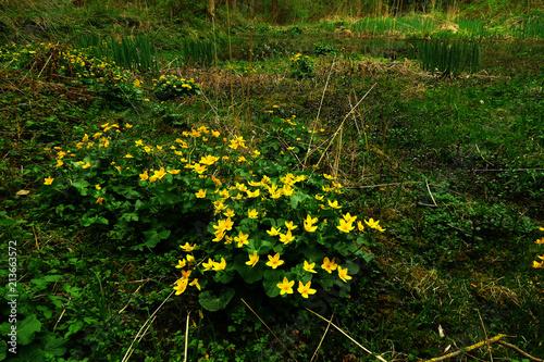 Leinwanddruck Bild Sumpfdotterblume; Sumpf-Dotterblume; Caltha palustris;