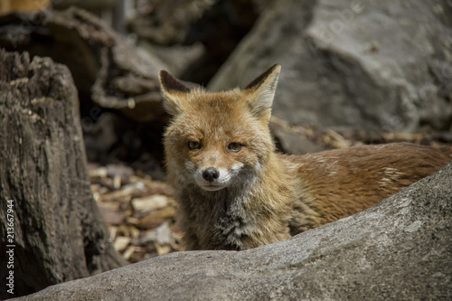 Fototapeta Portrait of Red Fox. Vulpes Vulpes.