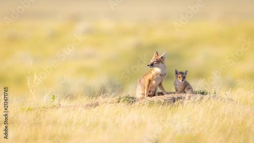 Fototapeta Swift Foxes, Wise Foxes on Prairies