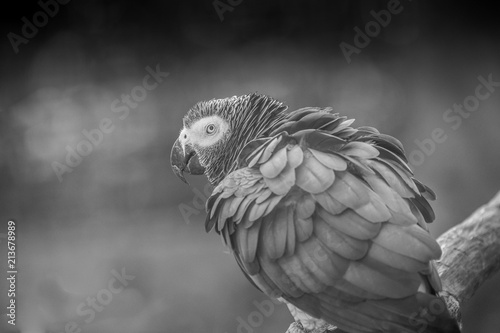 Fototapeta perroquet seul en noir et blanc au zoo en été regarde de profil posé sur sa branche