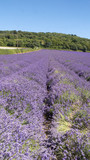 English Lavender fields in Kent  - 213681381