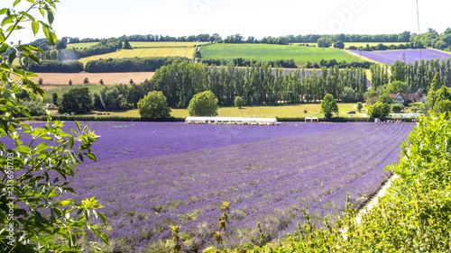 Aluminium Lavendel English Lavender fields in Kent