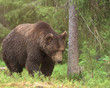 Big male Brown Bear (Ursus arctos) walking in deep green finnish forest