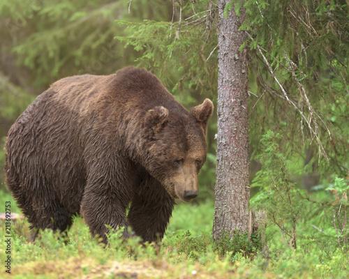 Duży męski Brown niedźwiedź chodzi w głębokiej zieleni fińskim lesie (Ursus arctos)