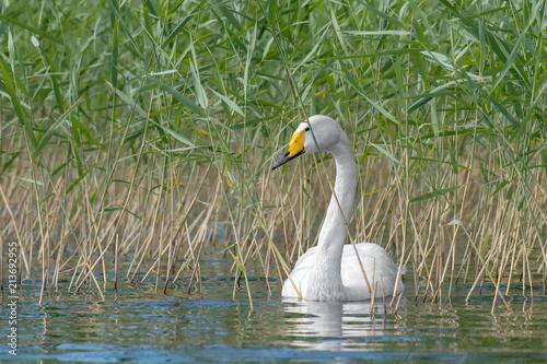 Fotobehang Zwaan Beautiful white Whooper Swan swimming on the lake