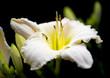 white summer flower in garden - 213693323