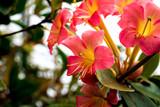 Bouquet of pink rhododendron (Rhododendron herzogii x aurigeranum)