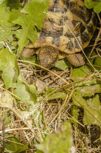 Foto Spatwand Schildpad Tartaruga di terra - Testudo Hermanni