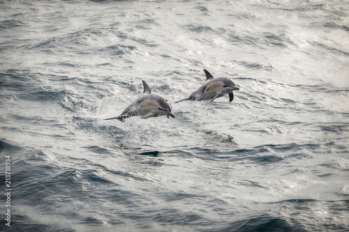 Foto Spatwand Dolfijn Two common dolphins jumping out of the water in sync in bass straight near Phillip Island