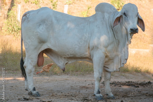 Nellore cow in profile looking sideways at the portrait