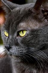 Closeup of dark gray cat and yellow eyes
