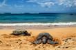 Close view of sea turtles resting on Laniakea beach on a sunny day, Oahu, Hawaii