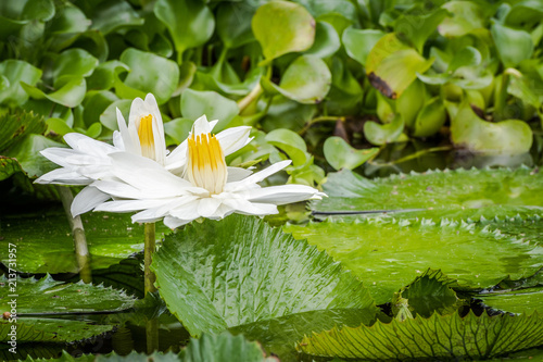Beautiful pair of white tropical water lilies growing in a pond in Montego Bay