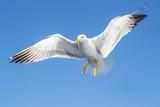 Seagull in flight - 213739125