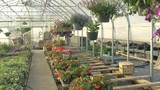 Walking Through Hanging Flowers in a Greenhouse with a Steadycam - 213743323