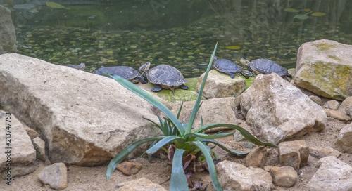 Foto Spatwand Schildpad turtles on stony ground
