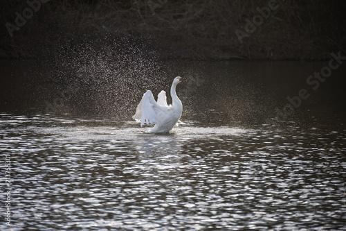 Fotobehang Zwaan 水浴びをする白鳥