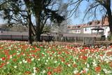 Tulpen in Seligenstadt - 213769759