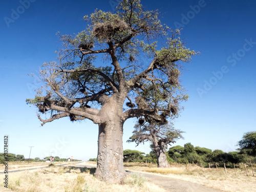 Foto Spatwand Baobab Solitary Baobab, Chobe National Park, Botswana
