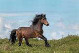 The last wild Horses. Galician Stallion - 213809780