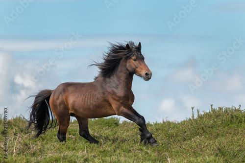 The last wild Horses. Galician Stallion