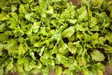 Beetroot growing in a garden - 213811981