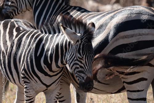 Fototapeta Zebras in Kruger Park, South Africa