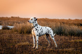 Dalmatian (saltmarsh at sunset)