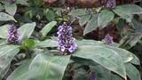 Dichorisandra reginae also known as Queen's Spiderwort - 213842193