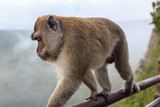 Macaque - 213848199