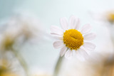 Beautiful blurry blossom daisy flowers background. Selective focus used. - 213849376